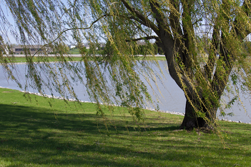 A willow tree at the edge of a pond.
